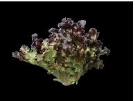 Red & Green Leaf Lettuce